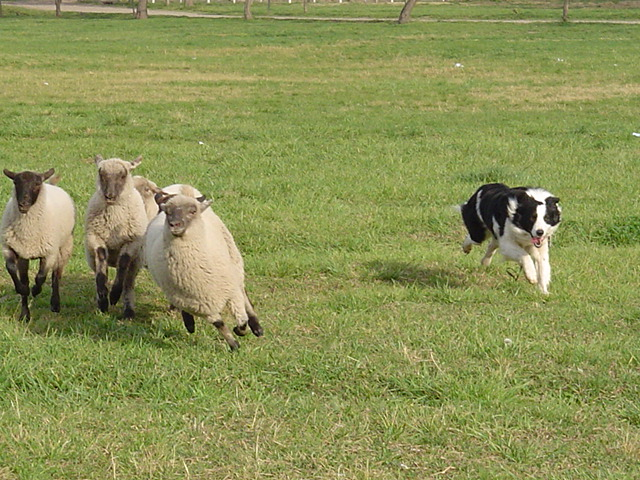 Herding Dog Training Nebraska